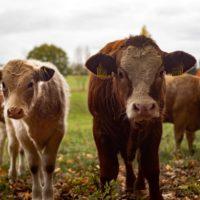 В селе Бирюковка установлен карантин в связи лейкозом скота